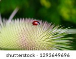 ladybug on the wild teasel ... | Shutterstock . vector #1293649696