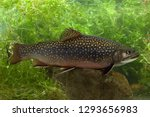 Brook Trout In River