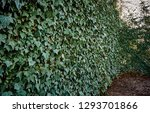 high wall of common ivy. can be ... | Shutterstock . vector #1293701866