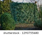 common ivy wall on a decorative ... | Shutterstock . vector #1293755680