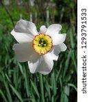beautiful white narcissus... | Shutterstock . vector #1293791533
