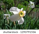 beautiful white narcissus... | Shutterstock . vector #1293791536