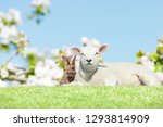 bunny and lamb on meadow in... | Shutterstock . vector #1293814909