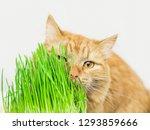 Siberian Red Cat Eat Green...