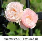 Beautiful  Heritage Rosa...