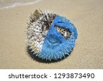 Puffer fish washed up in a...