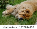 red dog chao chao on the grass... | Shutterstock . vector #1293896950