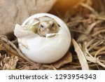 Stock photo close up baby tortoise hatching african spurred tortoise birth of new life closeup of a small 1293954343