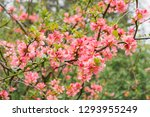 Pink Flowers Of Japanese Quinc...