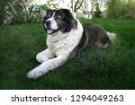 adult caucasian shepherd dog....   Shutterstock . vector #1294049263
