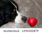 Cute Dog Is Looking On Heart...