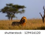 Big Male Lion In Morning Light...