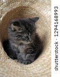 beautiful fluffy smoky kitten...   Shutterstock . vector #1294168993