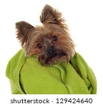 yorkshire terrier with green... | Shutterstock . vector #129424640