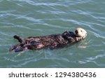 morro bay otter    Shutterstock . vector #1294380436