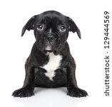 Stock photo sad puppy of french bulldog sits on a white background 129444569