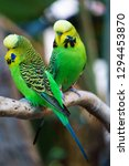 Two Budgerigars Parrot Birds...