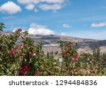 fuchsia hybrid plant in ecuador. | Shutterstock . vector #1294484836