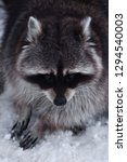 sad fur face of a raccoon with... | Shutterstock . vector #1294540003