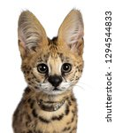 Stock photo head shot of cute months young serval cat kitten sitting straight up wearing shiny collar 1294544833