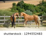 two stallion are playing in the ...   Shutterstock . vector #1294552483