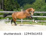 young and strong akhal teke...   Shutterstock . vector #1294561453
