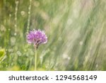 spring rain on the meadow in...   Shutterstock . vector #1294568149