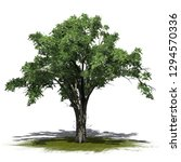 American Elm Tree On A Green...