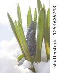 blue grapes hyacinth.beautifull ...   Shutterstock . vector #1294636243