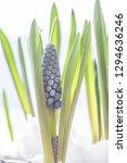 blue grapes hyacinth.beautifull ...   Shutterstock . vector #1294636246
