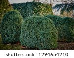 common ivy wall on a decorative ... | Shutterstock . vector #1294654210