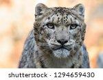 Closeup Of A Male Snow Leopard...