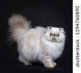 Cute Fluffy Tabby Point Persian ...