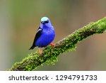 red legged honeycreeper ... | Shutterstock . vector #1294791733