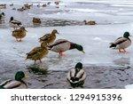 Flock Of Wild Mallard Ducks...