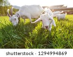 Goats grazing on fresh grass, low wide angle photo with strong sun backlight.
