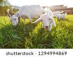 Goats Grazing On Fresh Grass ...