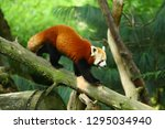 panda red on tree | Shutterstock . vector #1295034940