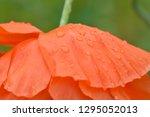 Wet Droopy Orange Poppy