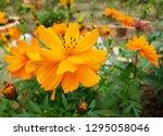 sulfur cosmos picture  cosmos... | Shutterstock . vector #1295058046