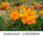 sulfur cosmos picture  cosmos... | Shutterstock . vector #1295058049