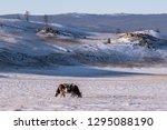 cows graze in the winter pasture | Shutterstock . vector #1295088190