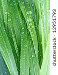green grass covered with dew | Shutterstock . vector #12951793
