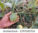 Watermelon Has Little Effect ...