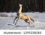 cremello akhal teke stallion...   Shutterstock . vector #1295238283