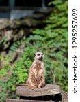 meerkat  suricata suricatta  in ...   Shutterstock . vector #1295257699