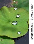Drops Of Water On A Lotus Leaf.