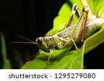 Red Legged Locust  Melonoplus...