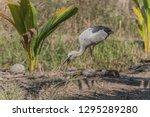 asian openbill scientific name  ...   Shutterstock . vector #1295289280