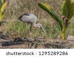 asian openbill scientific name  ...   Shutterstock . vector #1295289286